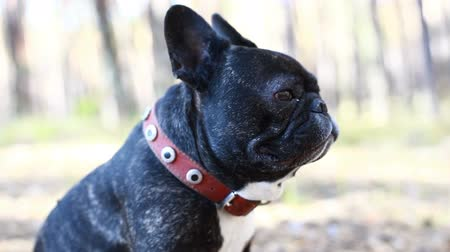 canino : dog french bulldog in the forest Vídeos
