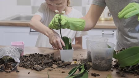 orchideeen : Closeup of hand child daughter and mother planting orchids in flower pots together, family at home in the kitchen. Stockvideo