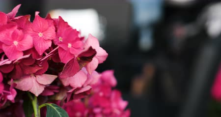 ortanca : Motion of pink blooming flower of hydrangea or hortensia.