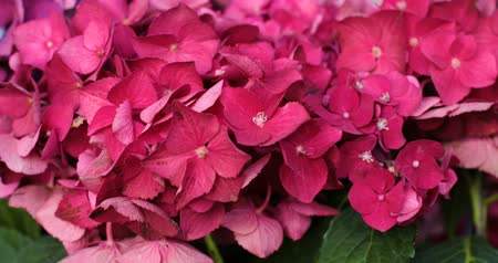 focus on : Motion of pink blooming flower of hydrangea or hortensia.