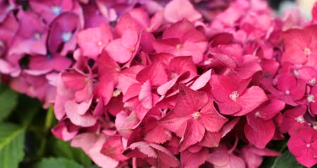 hortênsia : Motion of pink blooming flower of hydrangea or hortensia.