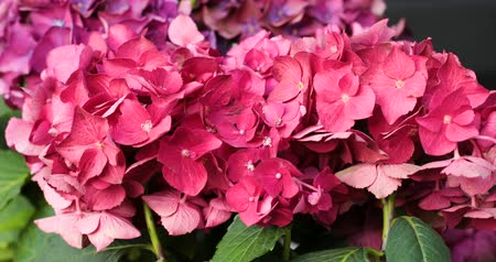 hortensia : Motion of pink blooming flower of hydrangea or hortensia.