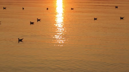 Seagulls on the water surface at sunset.