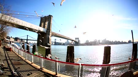 meeuw : Meeuwen in de voorkant van Brooklyn Bridge in slow motion