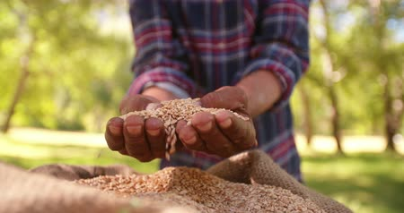recentemente : Bag of wheat recently harvested from the farm ready to be made into other food slow motion