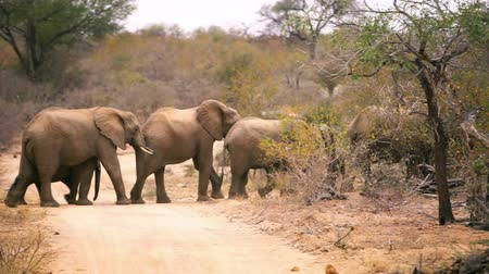 safari animals : Large herd of elephants of various ages and sizes sighted in the safari camp crossing a pale dirt road amongst thick African bush