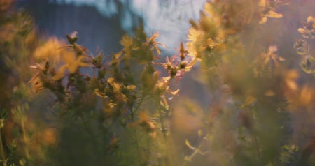 virág : Yellow wild flower waving in the wind in slow motion