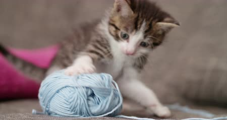 příze : Adorable little tabby kitten sitting on a couch next to a big ball of blue yarn on a couch and looking up at the camera with a cute expression Dostupné videozáznamy