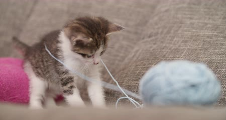 wełna : fluffy kittens on a couch looking curious and playing with a big ball of blue wool Wideo