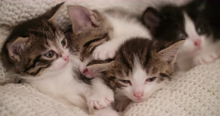 cobertor : Cute kitten looking at the camera while snuggled amongst its siblings that are sleeping in a warm blanket Vídeos