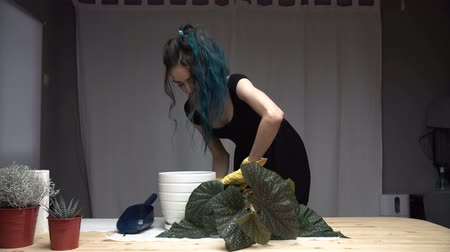 vazo : Beautiful cute girl with dyed blue hair carefully transplant the plants in pots in room. begonia Stok Video
