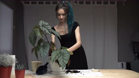 kankalin : Beautiful cute girl with dyed blue hair carefully transplant the plants in pots in room. begonia Stock mozgókép
