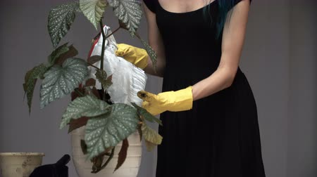 Beautiful cute girl with dyed blue hair carefully transplant the plants in pots in room. begonia Wideo