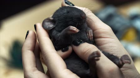 Beautiful lovely girl holds a hand a small home little pet brown mouse close up. She pats her kisses and smiles. Young woman with pet rat. Wideo