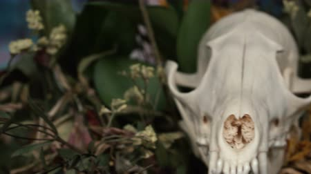 маска : Skull fox in a bouquet of flowers wilted sunflower bouquet. Стоковые видеозаписи