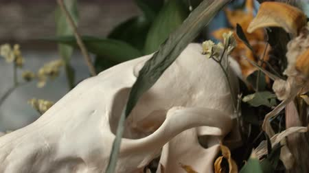 decadência : Skull fox in a bouquet of flowers wilted sunflower bouquet. Vídeos