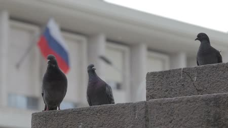 rock dove : Pigeons on the street sitting Stock Footage
