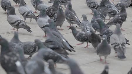 rock dove : Flock of pigeons on the street