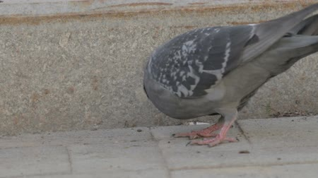 rock dove : Two pigeon on the street