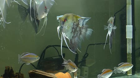 evcil hayvanlar : aquarium angelfish in a tank