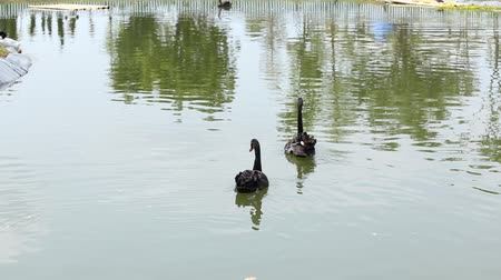 casa : Two black swans swim in the lake.