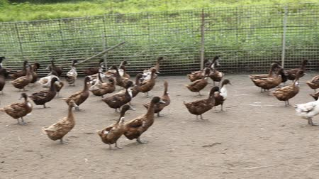 bird learning : Domestic Duck in farm