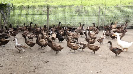 peking : Domestic Duck in farm