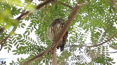 sowa : Asian barred owlet on branch tree.