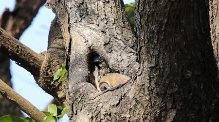 uil : Barn owl in hole on tree.