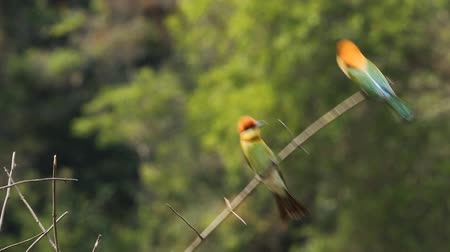 castanha : Chestnut-headed Bee-eater on  branch in park. Stock Footage