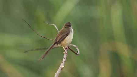 авес : Plain Prinia on dry brunch in park.