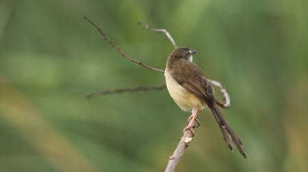 passerine bird : Plain Prinia on dry brunch in park.