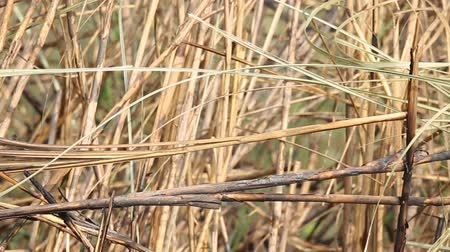 perching : Siberian Rubythroat ( Calliope calliope) on branch grass.