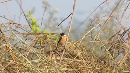 siberiano : Eastern Stonechat ( Saxicola rubicolaX ) on the dry branch grass.