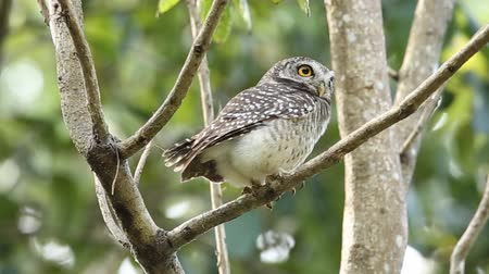 sowa : Spotted owlet on branch tree in park of Thailand. Wideo
