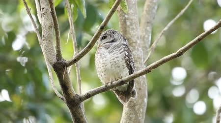 uil : Spotted owlet on branch tree in park of Thailand. Stockvideo