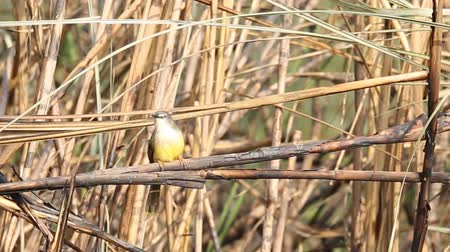 Yellow-bellied Prinia on branch.