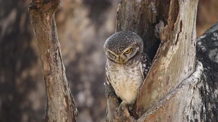 sowa : spotted owlet in hole on tree.