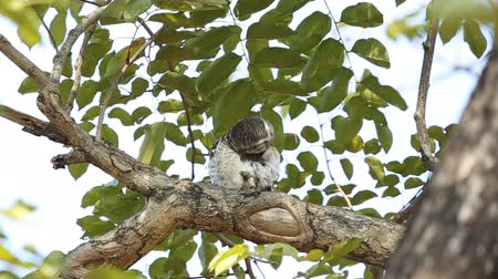 uil : spotted owlet on branch tree.