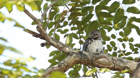 sowa : spotted owlet on branch tree.