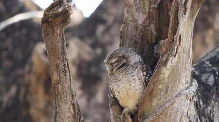 uil : spotted owlet in hole on tree.
