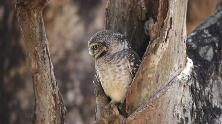 spotted owlet in hole on tree.