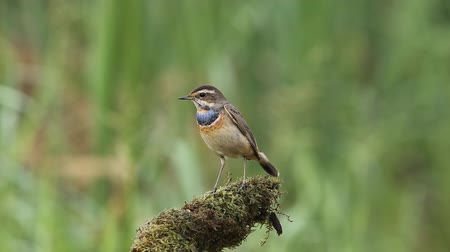 Bluethroat on branch with green background.