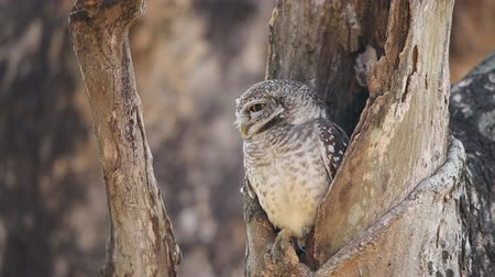 foltos : spotted owlet in hole on tree.