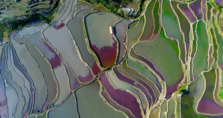 хижина : Aerial footage of colorful rice paddy fields during spring. Red duckweed covering the water surface causes the red and purple tones. Part 2 of 2, can be merged into a continuous movie. Стоковые видеозаписи