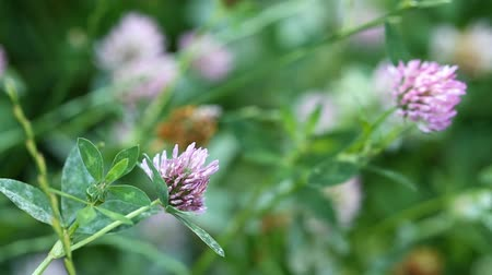 jetel : Clover flowers swaying in the breeze