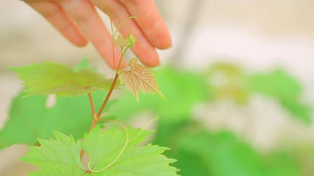 gentleness : Womans hand with gentleness touching fresh green vine, slow motion, grape plantation, fruit cultivation. Full HD Video 1920x1080