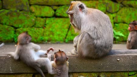 crab eating macaque : Sacred Monkey Forest Sanctuary, monkey mother with her cute little babies outdoors, slow motion, village Padangtegal, Ubud, Bali, Indonesia. Full HD Video 1920x1080