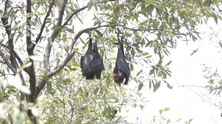 nietoperz : an adult and a baby fruit bat