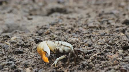 crab of the woods : Fiddler Crab